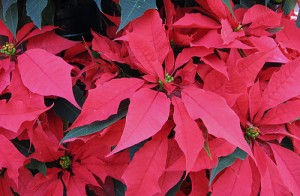 Poinsettias brighten our holidays with 20,000 varieties in all colors, sizes and shapes.  Image Credit: Susan Reimer on Flickr