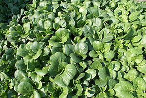 English: Bok Choy growing in a garden.