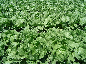 English: Close-up of an iceberg lettuce field ...