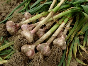 Garlic cloves have been shown to reduce the risk of lung cancer (photo credit: BigStockPhoto.com)