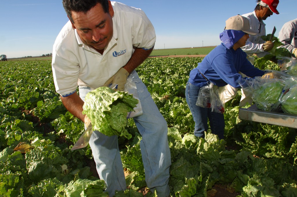 Winter Lettuce Harvest Yuma Arizona