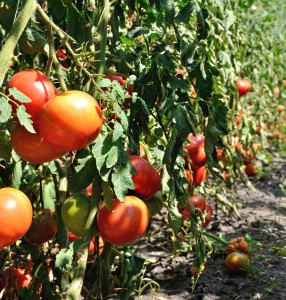 Growing Tomatoes in Arizona is the Hot Topic of 2014 on Fill Your Plate. Photo via Bigstock.com