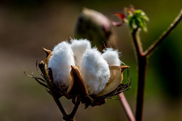 Raw Cotton Growing in a Cotton Field.  Closeup of a Large Cotton