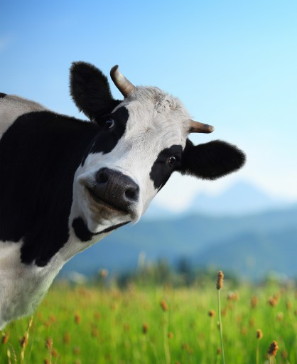 Head of funny cow looking to a camera with Alps and green meadow