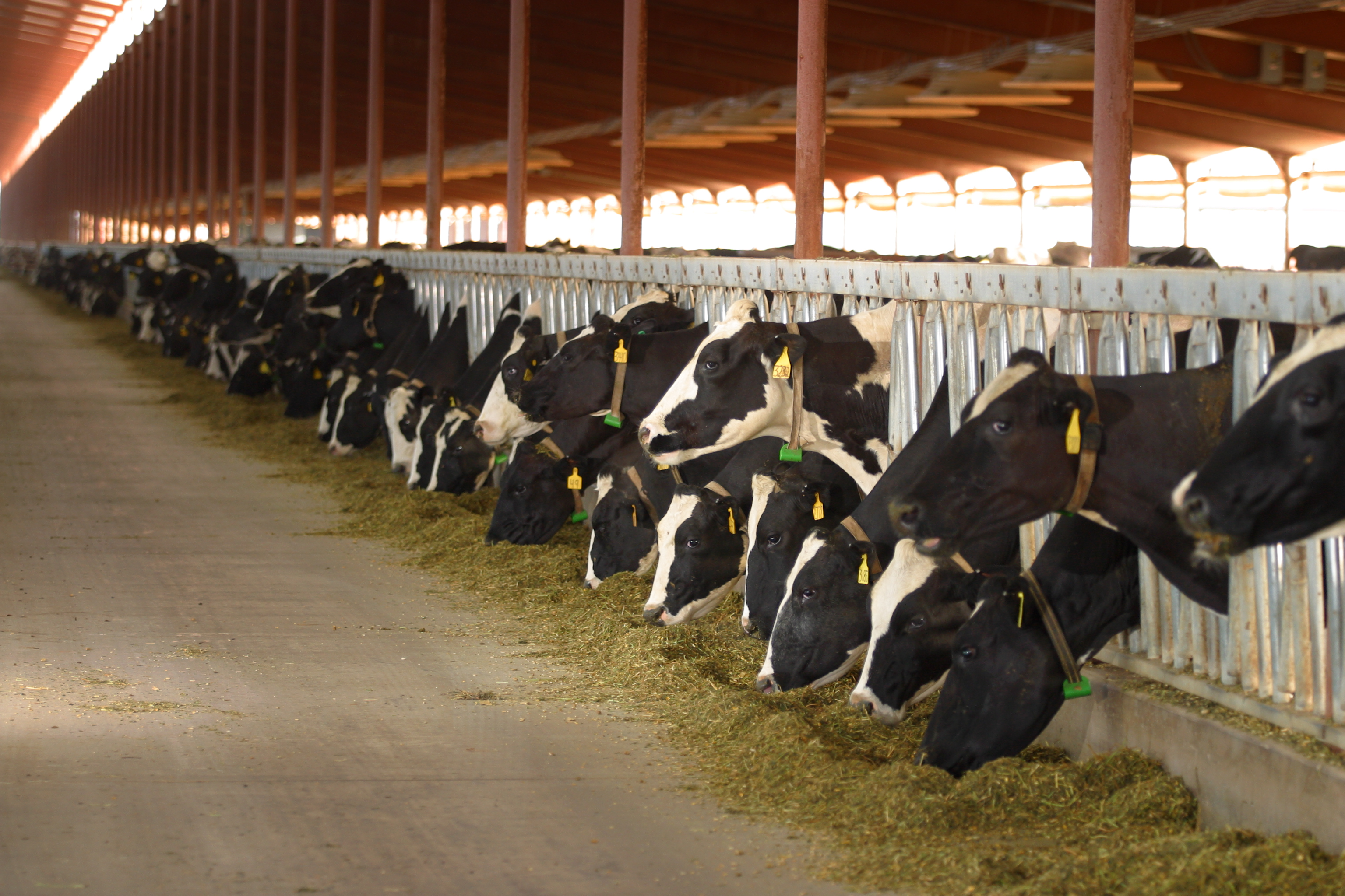 11 MARCH 2003 -- BUCKEYE, ARIZONA: Holstein dairy cows in a barn at the Triple G Dairy in Buckeye, AZ, March 11, 2003. The Triple G is one the most technologically advanced dairies in Arizona. More than 3,000 cows per day are milked at the dairy on two rotating carousels which hold 48 cows a piece. PHOTO BY JACK KURTZ