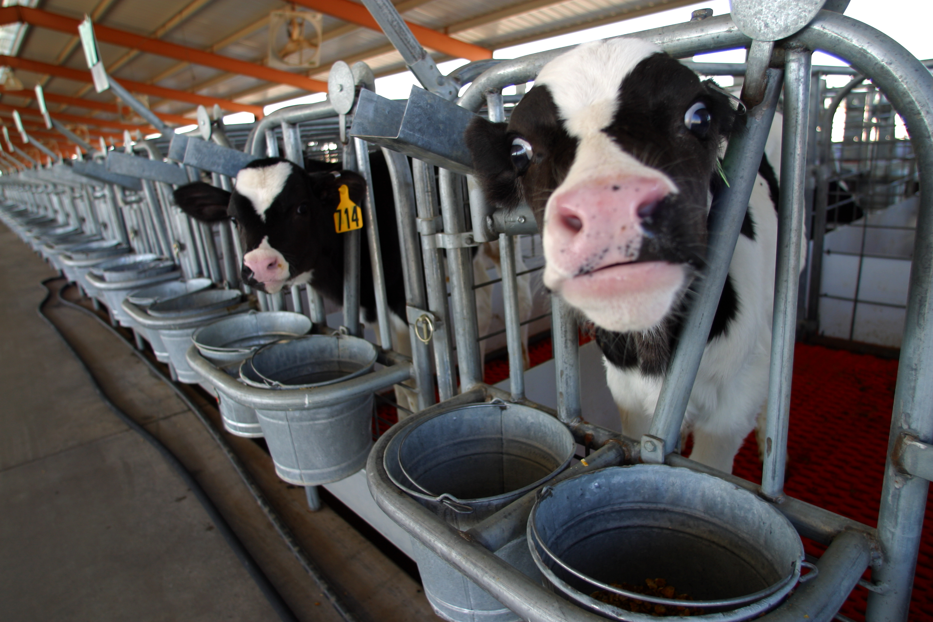 11 MARCH 2003 -- BUCKEYE, ARIZONA: A Holstein calves at the Triple G Dairy in Buckeye, AZ, March 11, 2003. The Triple G is one the most technologically advanced dairies in Arizona. More than 3,000 cows per day are milked at the dairy on two rotating carousels which hold 48 cows a piece. PHOTO BY JACK KURTZ