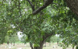 Image Courtesy of Brown's Orchard