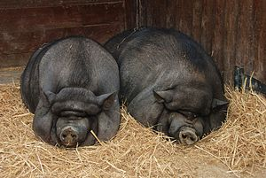 English: Two Pot-bellied pigs (Sus domesticus)...