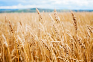 What do you know about the grains you eat? (photo credit: Bigstockphoto.com)