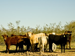beef Cattle On Arizona's Range.
